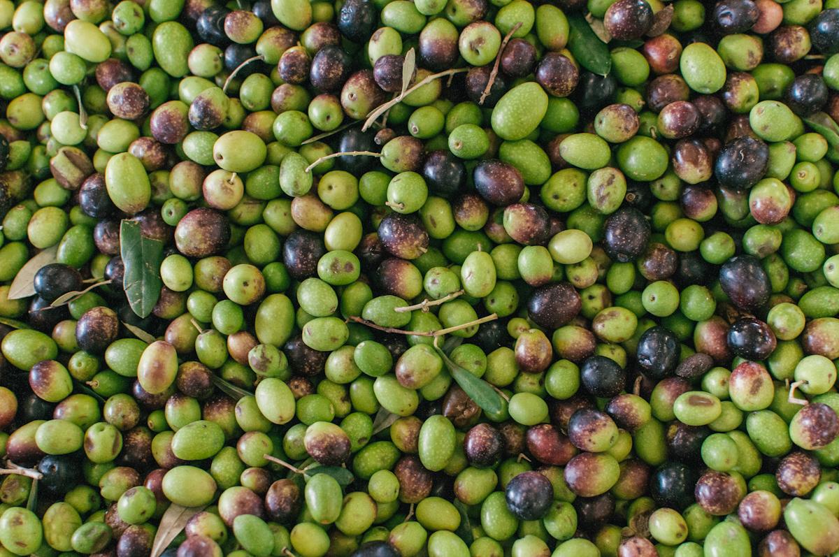 Cecchi Winery Harvest